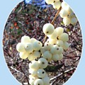 Snowberry Cluster by Will Borden