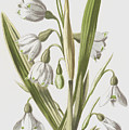 Snowdrop And Snowflake by Frederick Edward Hulme