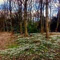 Snowdrop Woods 2 by Joan-Violet Stretch