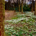 Snowdrop Woods by Joan-Violet Stretch