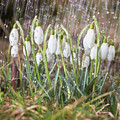 Snowdrops In The Garden Of Spring Rain 1 by Valdis Veinbergs