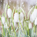 Snowdrops In The Garden Of Spring Rain 4 by Valdis Veinbergs
