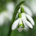 Snowdrops  by Sharon Talson