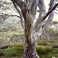 Snowgum Like Whirling Dervish by Adrianne Wood