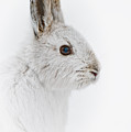 Snowshoe Hare Pictures 146 by World Wildlife Photography