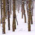 Snowy Aspen by Carol Milisen