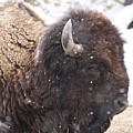 Snowy Bison by Mary Haber