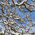 Snowy Branches by Bill Cannon