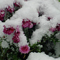 Snowy Chrysanthemums by Shirley Heyn