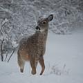 Snowy Doe by Lori Tambakis