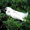 Snowy Egret 12 by J M Farris Photography
