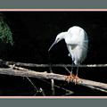 Snowy Egret 1498-052218-1cr-matted by Tam Ryan