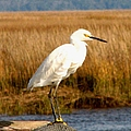 Snowy Egret 2 by J M Farris Photography