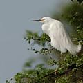 Snowy Egret by Aivar Mikko