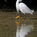 Snowy Egret by Alan Lenk