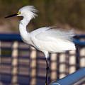 Snowy Egret  by Allan  Hughes