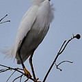Snowy Egret  by Amy Spear