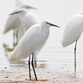 Snowy Egret And Friends by Tony Hake