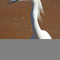 Snowy Egret by Andrei Shliakhau