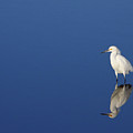 Snowy Egret Blues II by Bruce J Robinson