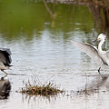 Snowy Egret Chasing Other Bird Out Of Feeding Area by Dan Friend