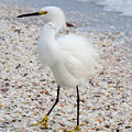 Snowy Egret by Chris Scroggins