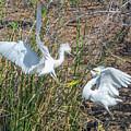 Snowy Egret Confrontation 8664-022018-1cr by Tam Ryan