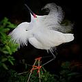 Snowy Egret by Dennis Goodman