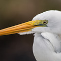 Snowy Egret by Don West