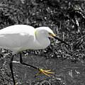 Snowy Egret  by Doug Camara