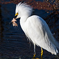Snowy Egret Eating Fish by Marc Crumpler