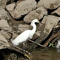 Snowy Egret Fishing by Al Powell Photography USA