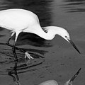 Snowy Egret Fishing by John Harmon