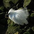 Snowy Egret Fluffy by Ernie Echols
