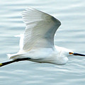 Snowy Egret In Flight by Jerry Griffin