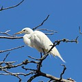 Snowy Egret In Nesting Area by Gary Canant