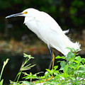 Snowy Egret In The Everglades by Amy Spear