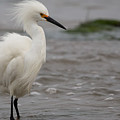 Snowy Egret In The Wind by John Daly