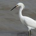Snowy Egret by JG Thompson