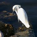 Snowy Egret by Joseph G Holland
