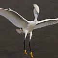Snowy Egret Landing by Paulette Thomas