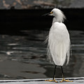 Snowy Egret Looking For Next Meal by Ernie Echols