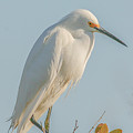 Snowy Egret  by Mark Fuge