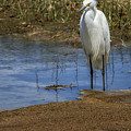 Snowy Egret Of Chincoteague No. 3 by Belinda Greb