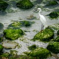 Snowy Egret On Mossy Rocks by Valerie Reeves