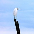 Snowy Egret On Post by Al Powell Photography USA