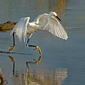 Snowy Egret On The Move by Judi Dressler
