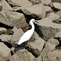 Snowy Egret On The Rocks by Al Powell Photography USA