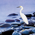 Snowy Egret On The Rocks by Laura D Young