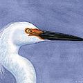 Snowy Egret Portrait by Charles Harden